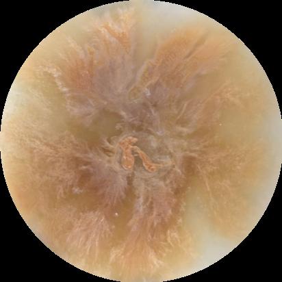 Aviolaceum