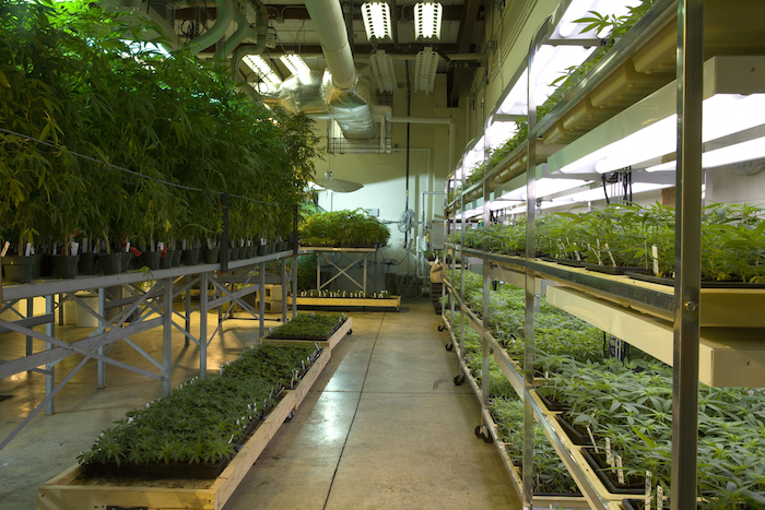The indoor marijuana grow room at the Marijuana Project.