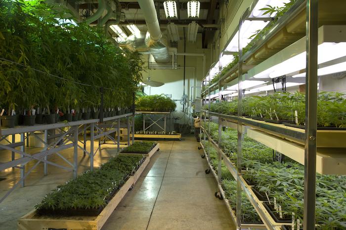 The indoor marijuana grow room at the Marijuana Project.