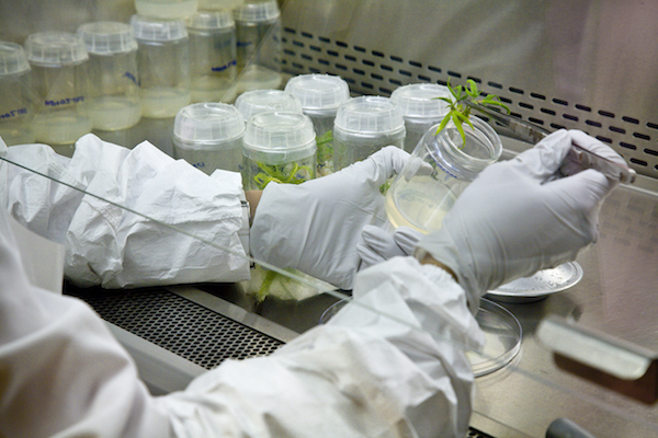 Propagating marijuana tissue culture at the University of Mississippi