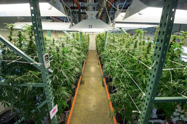 Marijuana grow room at the University of Mississippi