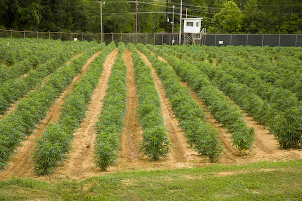 Marijuana field at the University of Mississippi