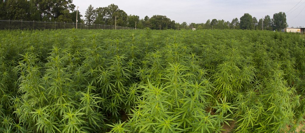 Marijuana grown at the University of Mississippi