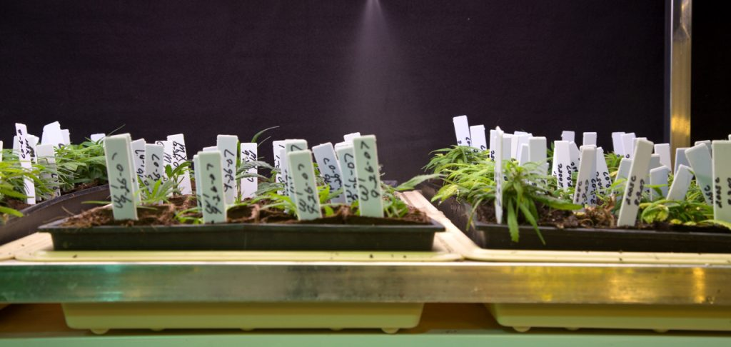 Marijuana plants at the University of Mississippi