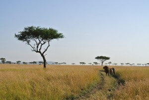 Photo of a male lion taken at the Maasai Mara Reserve in Kenya.