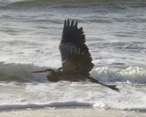 Great Blue Heron flying along the seashore on the Gulf Coast of Alabama.