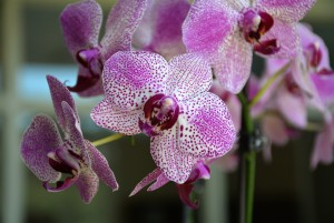 Flowers of a Phalaenopsis hybrid growing at the Ole Miss Medicinal Plant Garden.