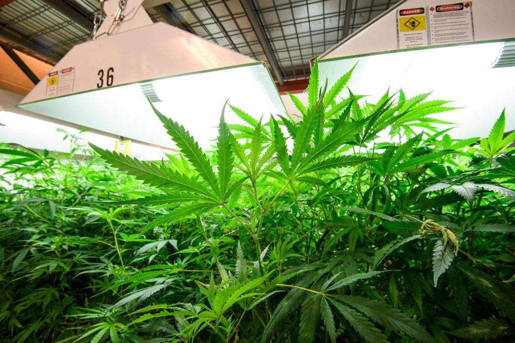 Marijuana leaves under growing room lamp