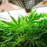 Waller Lab Marijuana Grow Room
