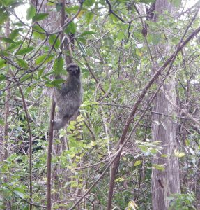 Sloth hanging in a jungle tree