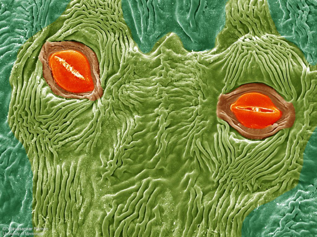 Stomata on bract of titan arum-corpse flower