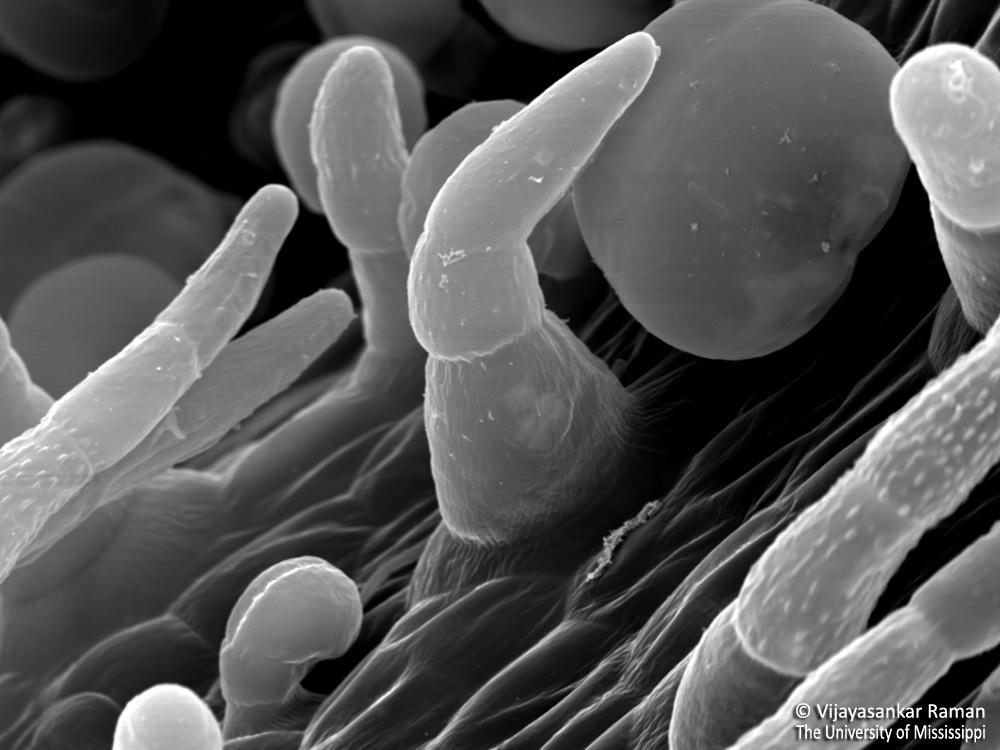 6-Glandular-and-nonglandular-trichomes-of-Salvia-divinorum