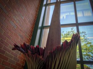Titan Arum, Corpse Flower Bloom