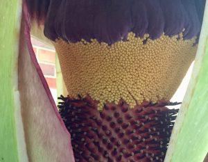 Inside of Corpse Flower